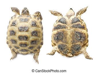 lefelé, feláll, |, teknősbéka, elszigetelt