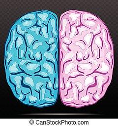Left and right hemisphere of human brain.