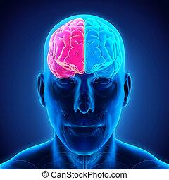 Business man drawing human brain diagram left and right stock left and right human brain ccuart Choice Image