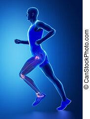 Leg ligaments  - human connective tissue anatomy