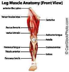 Leg Muscle Anatomy (Front View) illustration