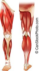 Leg muscle - Poster of front and back leg muscle