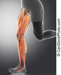 Leg muscles  - human muscle anatomy