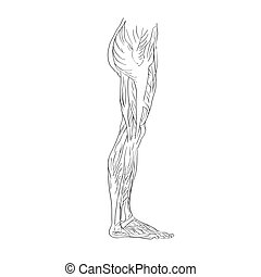 leg muscles lateral