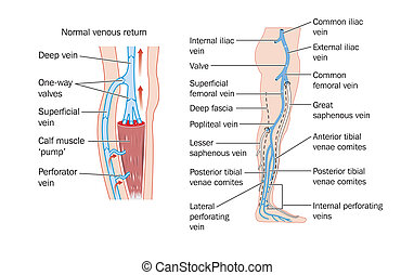 Leg veins - Drawing of the veins of the leg and the calf ...