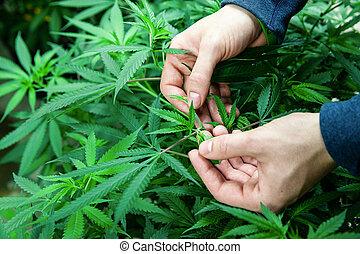 Legal cannabis grow room series - Marijuana growing and ...