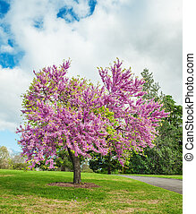 flowering Judas Tree - Legendary flowering Judas Tree ...