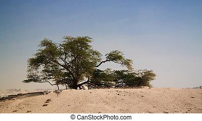 Legendary tree of life, bahrain desert