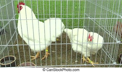 Leghorn chicken breed of hens, stressed animal in a cage