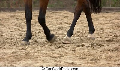 Legs of dark horse walking on the sand. Horses hooves...