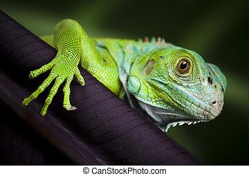 leguan, bild, feuerdrachen, eidechse, klein, gecko