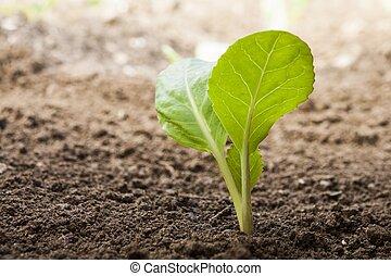 legumes, crescendo, saída, de, solo