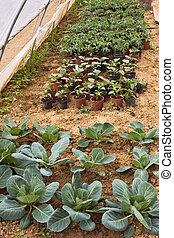 legumes, cultivo