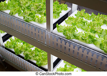 legumes, cultivo, hydroponics