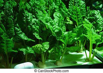 legumes, hydroponics