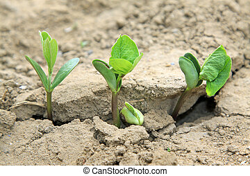 leguminous botany seedling in the field