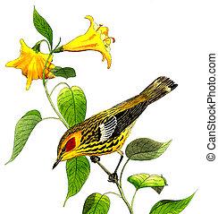 lehet, köpeny, éneklő madár