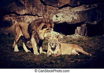 lejon, lägga på gräset