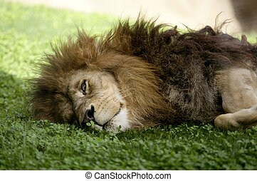 lejon, manlig, afican