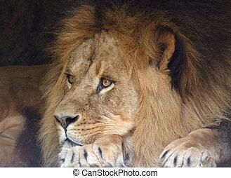 lejon, manlig