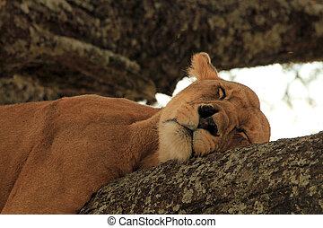lejon, träd