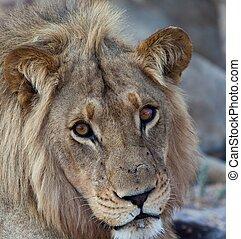lejonen, av, tanzania, nationalparken