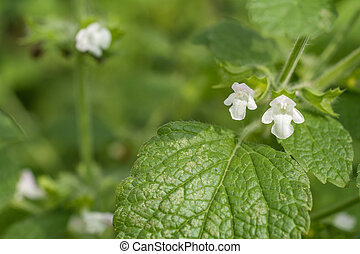 Lemon balm flower - White lemon balm flower in green field
