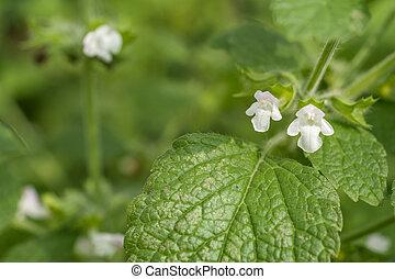 Lemon balm flower - White lemon balm flower in green field