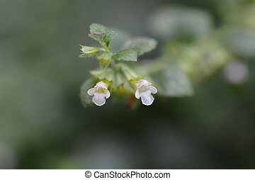 Lemon balm flowers close up - Latin name - Melissa ...