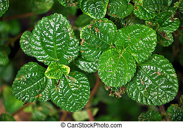 Lemon balm grows in clumps and spreads vegetatively as well ...