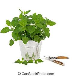 Lemon Balm Herb with Secateurs - Lemon balm herb plant in an...