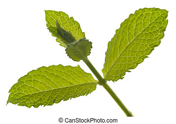lemon balm isolated over white background