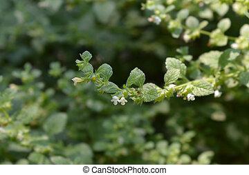 Lemon balm - Latin name - Melissa officinalis