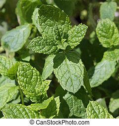 Lemon balm leafs in a close-up