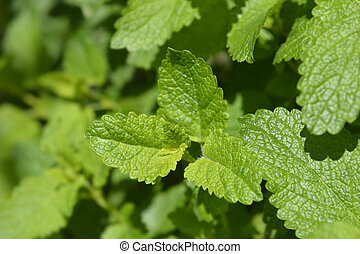 Lemon balm leaves - Latin name - Melissa officinalis