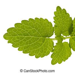 lemon balm leaves, melissa, isolated