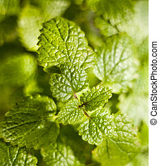 Lemon balm (Melissa officinalis), also known as balm or balm...