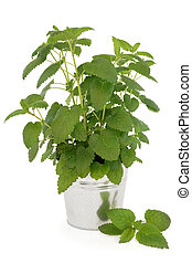 Lemon Balm Plant - Lemon balm plant in an aluminium pot over...