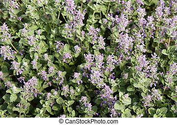 Lemon balm (Melissa officinalis) blooming