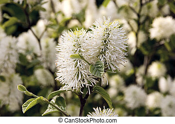 Lemon Bottlebrush - Blossom of Bottlebrush plant.
