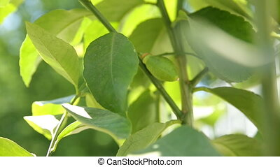Lemon (citrus) on a branch. Natural background with growing fruit on sunlight.