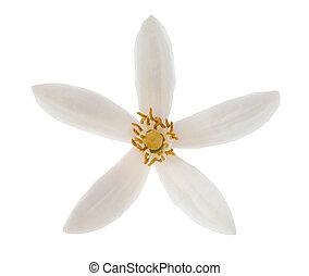 Lemon flower head isolated on white background