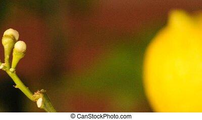 Lemon blossom with ripe fruit
