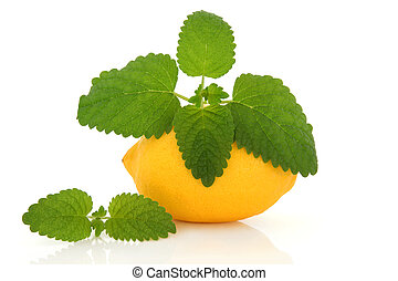 Lemon Fruit and Lemon Balm Herb - Lemon fruit with lemon...