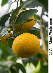 lemon fruit on a branch