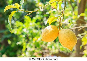 Lemon garden of Sorrento - nging Lemon Fruits in Lemon...