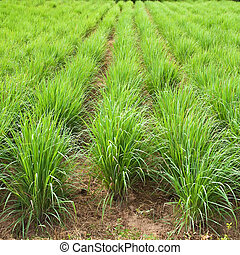 Lemon grass plant,North East of Thailand. - Lemon grass...