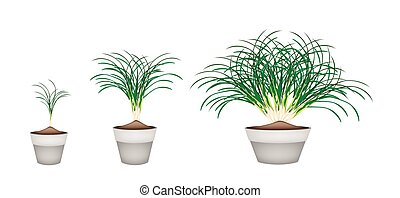 Lemon Grass Plants in Ceramic Flower Pots