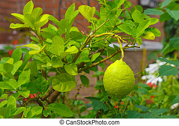 lemon on a tree with leaves and drops of dew