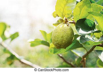 Lemon on tree with sunlight.
